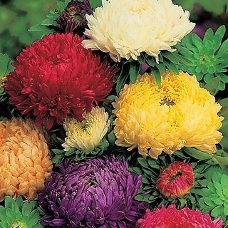 Flower Seeds : Aster- Ducess Formula Mixed Garden Farm Garden Home Garden Seeds Eco Pack Plant Seeds By Creative Farmer
