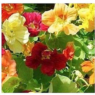 Nasturtium Jewel Mixture Flower Seeds 10 Seeds