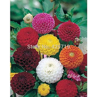 Flower Seeds : Dahlia Flower Seeds Mix Pompon Mixed Garden Plants House Garden Garden Home Garden Seeds Eco Pack Plant Seeds By Creative Farmer