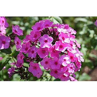 Flower Seeds : Phlox Paniculata Mixed Seeds Hybrid Plant Seeds Flowers (20 Packets) Garden Plant Seeds By Creative Farmer