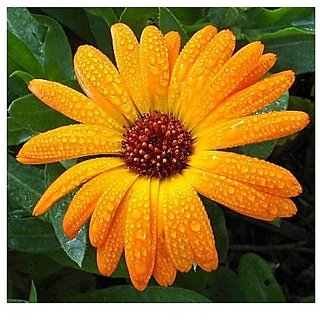 Flower Seeds : Garden Marigold (Dwarf) Hybrid Seeds Seasonal Flowering Plants (15 Packets) Garden Plant Seeds By Creative Farmer