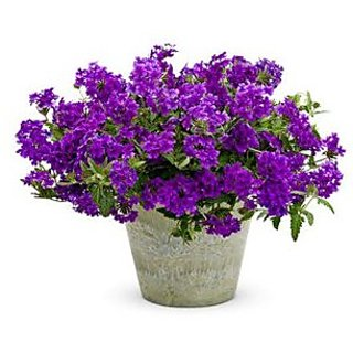 Flower Seeds : Verbena Mix Perennial Herbaceous Flowering Plants Blue Flower Seed For Shade B- Seeds For Terrace Garden Home Garden Seeds Eco Pack Plant Seeds By Creative Farmer