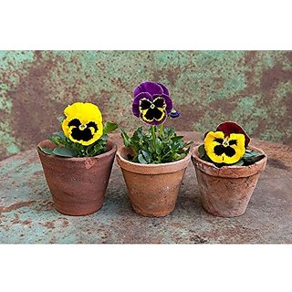 Flower Seeds : Garden Pansy Plant Seeds Flower Seeds Winter Kitchen Garden Hybrid Seeds (25 Packets) Garden Plant Seeds By Creative Farmer