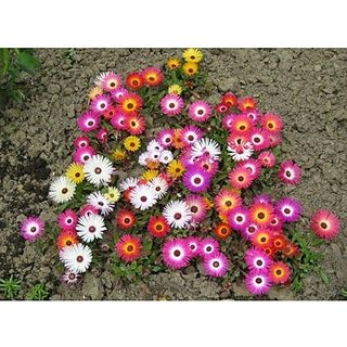 Flower Seeds : Livingston Daisy Seeds Of Flowering Plants (15 Packets) Garden Plant Seeds By Creative Farmer