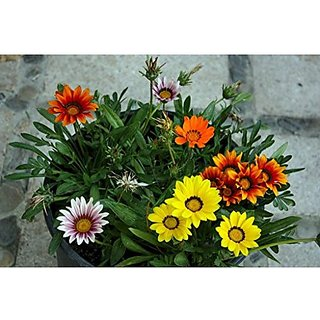 Flower Seeds : Gazania-Dwarf Mixed Flower Seeds Flower Seeds For Containers Garden Home Garden Seeds Eco Pack Plant Seeds By Creative Farmer