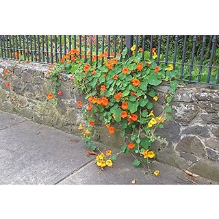 "Flower Seeds : Nasturtium Indian Cress Seeds ""Troika Orange"" Heavy Blooming Flower Garden Seeds Of Flowers Hanging Basket Seeds- Ornamental Garden Home Garden Seeds Eco Pack Plant Seeds By Creative Farmer"