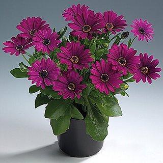 Flower Seeds : Daisybushes Hybird Roof Garden (25 Packets) Garden Plant Seeds By Creative Farmer