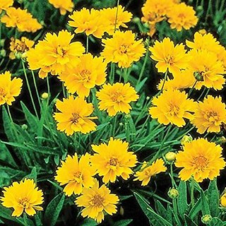 Flower Seeds : Lance-Leaved Coreopsis Exotic Seeds Plants Seeds For Flower Beds Garden Home Garden Seeds Eco Pack Plant Seeds By Creative Farmer
