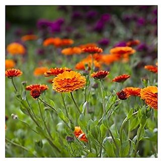 Flower Seeds : Orange Pot Marigold (Dwarf) Flower Seeds Home Gardeners Pack (20 Packets) Garden Plant Seeds By Creative Farmer