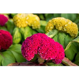 Flower Seeds : Celosia Cockscomb Red Yellow Orange Gold Pink Flower Seed For Home Gardening Flower Seeds (17 Packets) Garden Plant Seeds By Creative Farmer