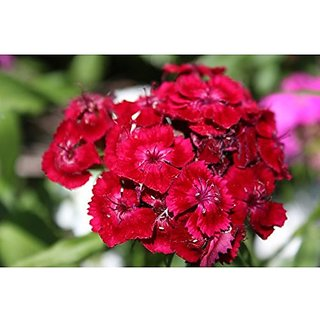 Flower Seeds : Dianthus Flavora Rose Shades Flower Seeds Gift Basket Seeds For Gardening (14 Packets) Garden Plant Seeds By Creative Farmer