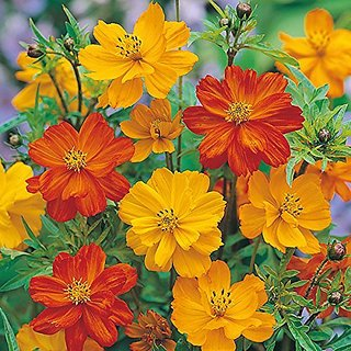 Flower Seeds : Cosmos Red Mixed Flower Seeds Flower Flowering Plant Seeds Garden Home Garden Seeds Eco Pack Plant Seeds By Creative Farmer
