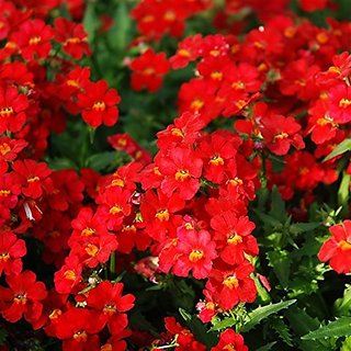 Flower Seeds : Nemesia Strumosa Seeds Flower Driveway Path (25 Packets) Garden Plant Seeds By Creative Farmer