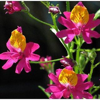 Flower Seeds : Poor ManS Orchid Garden Seeds Flower Seeds For Pots Garden Home Garden Seeds Eco Pack Plant Seeds By Creative Farmer