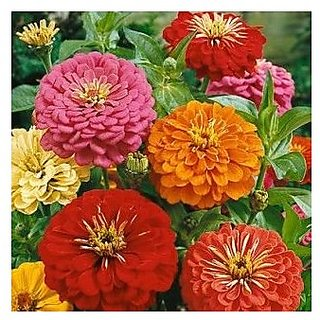Flower Seeds : Zinnia The First Flower Grown In Space Plant Seeds Exotic Garden Home Garden Seeds Eco Pack Plant Seeds By Creative Farmer