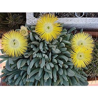 Flower Seeds : Ice Plant Yellow Seeds For Kitchen Garden Green Garden Seeds Garden Home Garden Seeds Eco Pack Plant Seeds By Creative Farmer