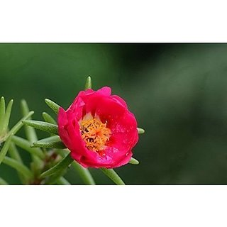 Flower Seeds : Portulaca Double Mix Flower Seeds Organic Flower Seeds For Garden Balcony Garden Home Garden Seeds Eco Pack Plant Seeds By Creative Farmer