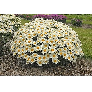 Flower Seeds : White Daisy Bush Seeds For Terrace Garden Garden Seeds For Pots (20 Packets) Garden Plant Seeds By Creative Farmer