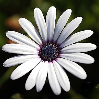 Flower Seeds : Rain Daisy Seeds For Kitchen Garden Plant Seeds Exotic (14 Packets) Garden Plant Seeds By Creative Farmer