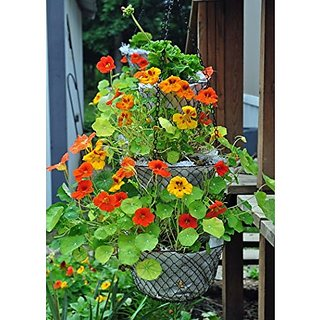 Flower Seeds : Nasturtium Hanging Basket Mix Seeds For Kitchen Garden Container Garden Garden Home Garden Seeds Eco Pack Plant Seeds By Creative Farmer