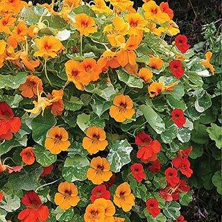 Flower Seeds : Yellowcress Seeds For Roof Garden Seasonal Flowering Plants (14 Packets) Garden Plant Seeds By Creative Farmer