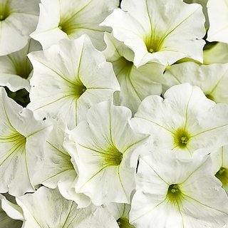 Flower Seeds : Petunia White Hanging Variety Flower Seeds Hanging Seeds For Gardening (15 Packets) Garden Plant Seeds By Creative Farmer