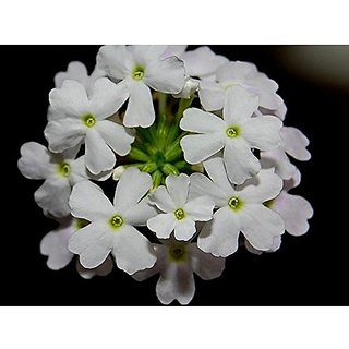 Flower Seeds : Wild Hysso Red Mix White Seeds High Quality Seeds (18 Packets) Garden Plant Seeds By Creative Farmer