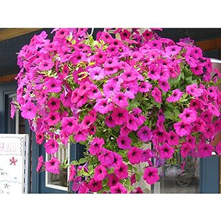 Flower Seeds : Petunia Basket Mixed Flower Seeds Hybrid Seeds Branded (17 Packets) Garden Plant Seeds By Creative Farmer
