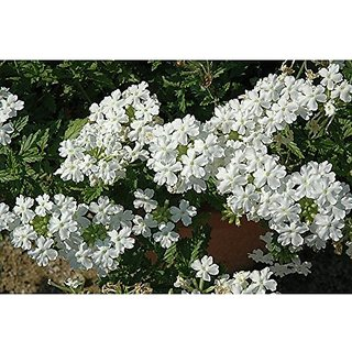 Flower Seeds : Blue Vervain White Quality Seeds (16 Packets) Garden Plant Seeds By Creative Farmer