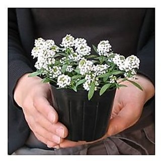 Flower Seeds : Alyssum Rosie O Day Pink Pot Veriety Flower Seeds For All Season Garden Home Garden Seeds Eco Pack Plant Seeds By Creative Farmer