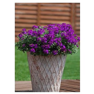 Flower Seeds : Mosquito Plant(Mosquito Repellent) Blue Flower Plant Seeds For Hummingbirds Garden