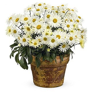 Flower Seeds : Daisy-Pomponent Red Flower Seed All Season Flower Seeds Of Summer Garden Home Garden Seeds Eco Pack Plant Seeds By Creative Farmer