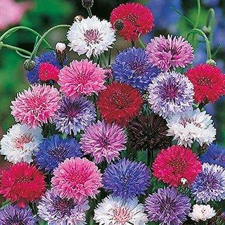 Flower Seeds : Corn Flower- Frosty Mixed Terrace Garden Flower Semi Indoor Suitable (16 Packets) Garden Plant Seeds By Creative Farmer