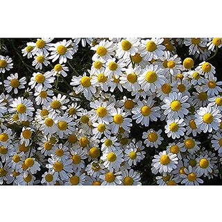 Flower Seeds : Mayweed Flower Seeds Growing Flower Seeds For Decoration Garden Home Garden Seeds Eco Pack Plant Seeds By Creative Farmer
