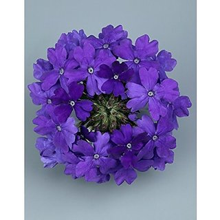 Flower Seeds : Verbena Dwarf Blue Best Seeds For Home Garden Garden Home Garden Seeds Eco Pack Plant Seeds By Creative Farmer