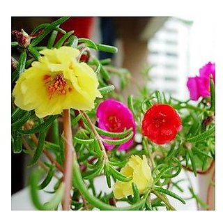 Flower Seeds : Mexican Rose Flower Seeds For Rainy Season Plants Seeds For Home Decor Garden Home Garden Seeds Eco Pack Plant Seeds By Creative Farmer