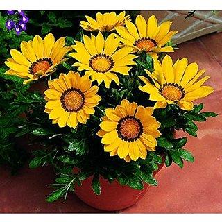 Buy Flower Seeds Gazania Dwarf Mixed Yellow And Orange Garden