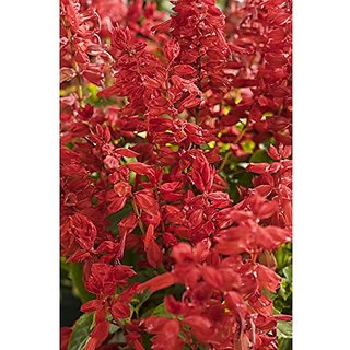 Flower Seeds : Salvia Vista Red Mix Flower Seeds With Instruction Guide Garden Home Garden Seeds Eco Pack Plant Seeds By Creative Farmer