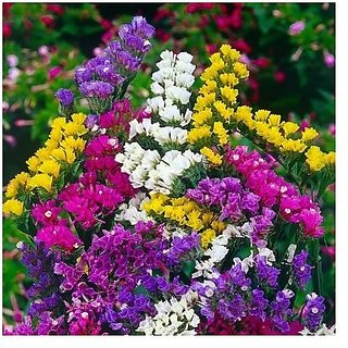 Flower Seeds : Statica-Pacific Mixed Flower Seeds Perennial Seeds For Home Terrace Gardening Plants Garden Home Garden Seeds Eco Pack Plant Seeds By Creative Farmer