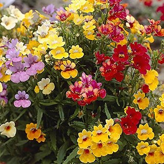 Flower Seeds : Prince Nemesia Strumosa Flower Seeds Hybrid Seeds Outside Sitting Room Garden Home Garden Seeds Eco Pack Plant Seeds By Creative Farmer