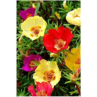 Flower Seeds : Single Leaves Portulace Seeds For Roof Garden Flower Seeds For Planting (15 Packets) Garden Plant Seeds By Creative Farmer