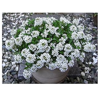 Flower Seeds : Alyssum Maritimum Gardening Ideas Garden Home Garden Seeds Eco Pack Plant Seeds By Creative Farmer