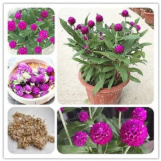 Flower Seeds : Gomphrena Annual Flower Plant Seeds Garden Flowers Seeds Gardening Seeds Garden Home Garden Seeds Eco Pack Plant Seeds By Creative Farmer