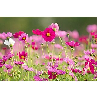 Flower Seeds : Cosmos Best Flower For Garden Balcony Garden Flowering Plants Seeds Garden Home Garden Seeds Eco Pack Plant Seeds By Creative Farmer