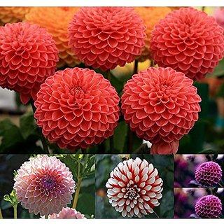 Buy Flower Seeds Giant Dahlia Flowered Coral Flower Plants Seeds