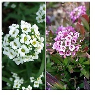 Flower Seeds : Alyssum Procumbens Snow White Flower Seeds Mixed Organic Seeds Garden Home Garden Seeds Eco Pack Plant Seeds By Creative Farmer
