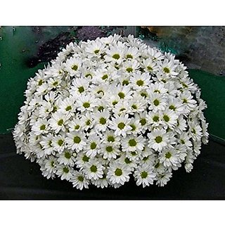 Flower Seeds : Jamanthi Poovu Chrysanthemum White Flower Seeds Easy To Grow Hybrid Seed Packet (20 Packets) Garden Plant Seeds By Creative Farmer