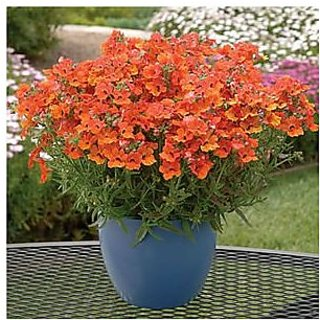 Flower Seeds : Nemesia Pot Hanging Mix Flower Seeds Organic Hedge Garden Garden Home Garden Seeds Eco Pack Plant Seeds By Creative Farmer