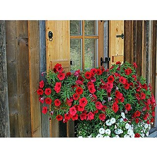 Flower Seeds : Red Colour Petunia Seeds Floral Mix Plants Seeds For Office Garden Home Garden Seeds Eco Pack Plant Seeds By Creative Farmer