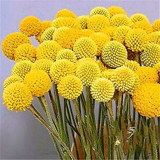 Flower Seeds : Drum Stick-Globosa Yellow Exotic For Vertical Garden Garden Home Garden Seeds Eco Pack Plant Seeds By Creative Farmer